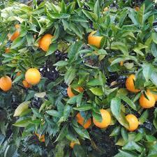 washington naval orange